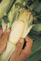 Hvordan man laver majs til fiskeri efter Kokanee