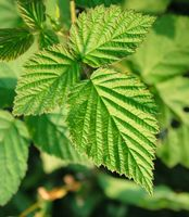 Røde hindbær blade te anvendelser