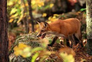 Sådan bruges en Fox fløjte