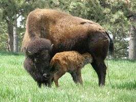 Buffalo Roundup på Custer State Park i South Dakota